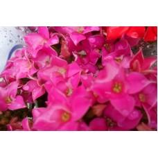 Kit Flores Hidroponicas